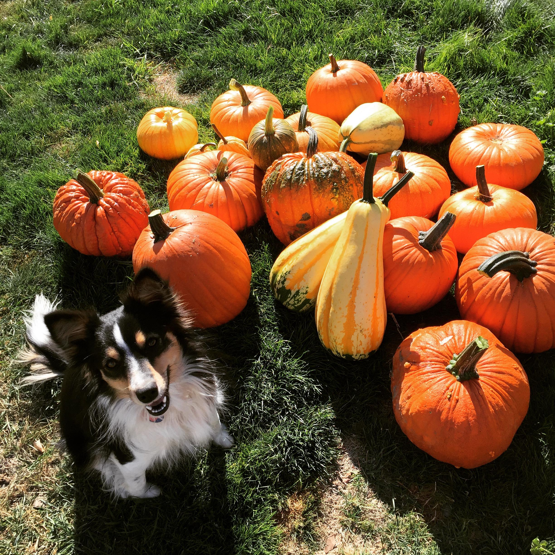 stella pumpkins
