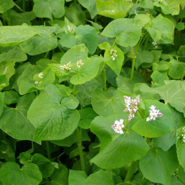 Buckwheat Cover Crop Seeds